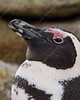 Travel/South Africa - penguins :